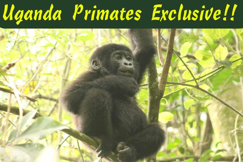 Uganda Primates Safaris Gorilla trekking habituation Safaris wildlfe