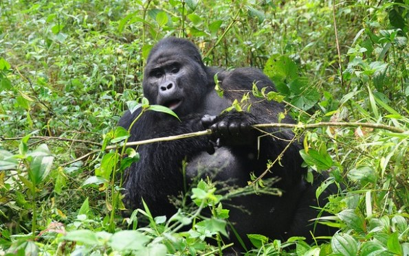 2020 Uganda Gorilla permit Price to Increase to USD700  Effective  1st July 2020, the gorilla permit price for Uganda is set to increase from USD600 to USD700 for foreign non residents and USD600 for foreign residents in East Africa. For East African citizens the cost still remains at Uganda shillings 250000 per person.