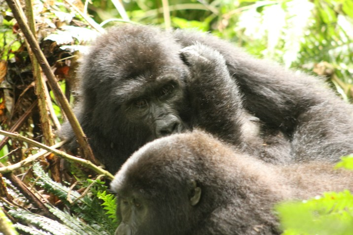 Uganda Gorilla Trekking Cost, How much is Gorilla Trekking The cost for Uganda gorilla trekking permit is USD600 and the cost for gorilla habituation experience permit is USD1500. You can contact a reputable Uganda safari company to help you get the gorilla permits.