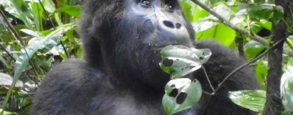 Uganda flying gorilla safari tour - Mountain gorilla, Bwindi gorilla trek tour