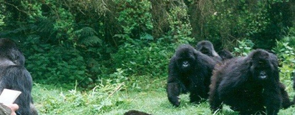 gorilla habituation experience tour uganda