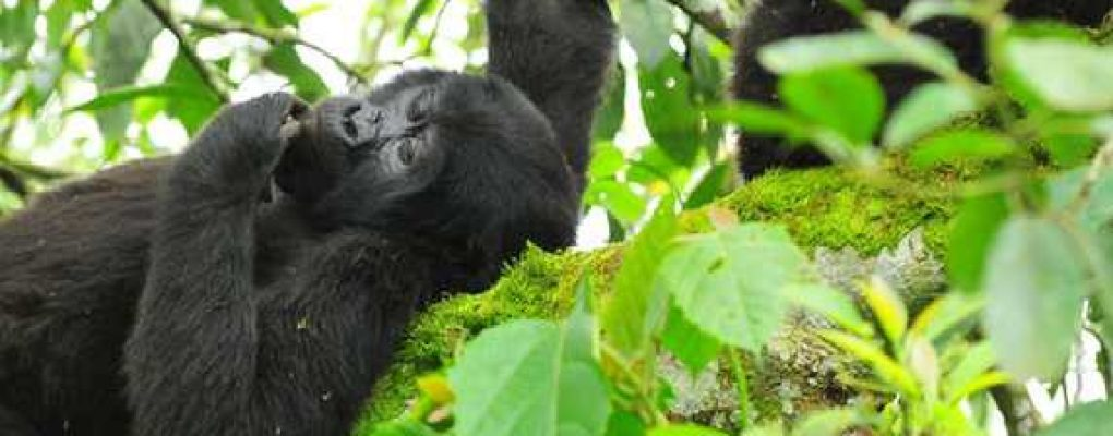 Gorilla from the Rushegura family resting on a branch, Bwindi, Uganda