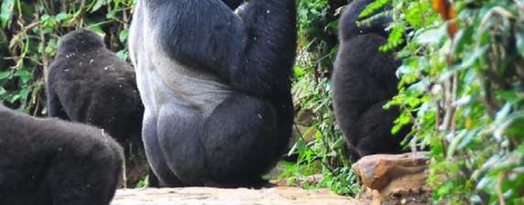 All Uganda gorilla safaris, Uganda tours, gorilla trekking tours, primate wildlife safaris, gorilla habituation safaris, uganda gorilla trekking in Africa