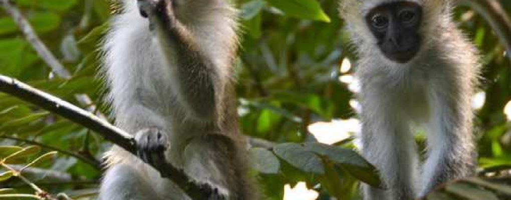 Vervet monkeys, Queen Elizabeth National Park, Uganda