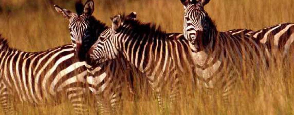 Zebras, Rwanda