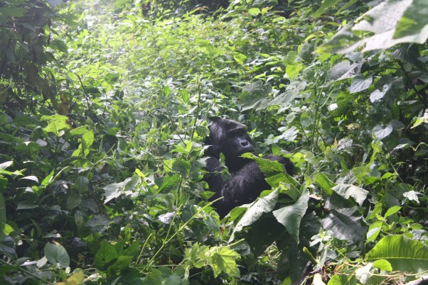 Uganda Gorilla Tracking Safari