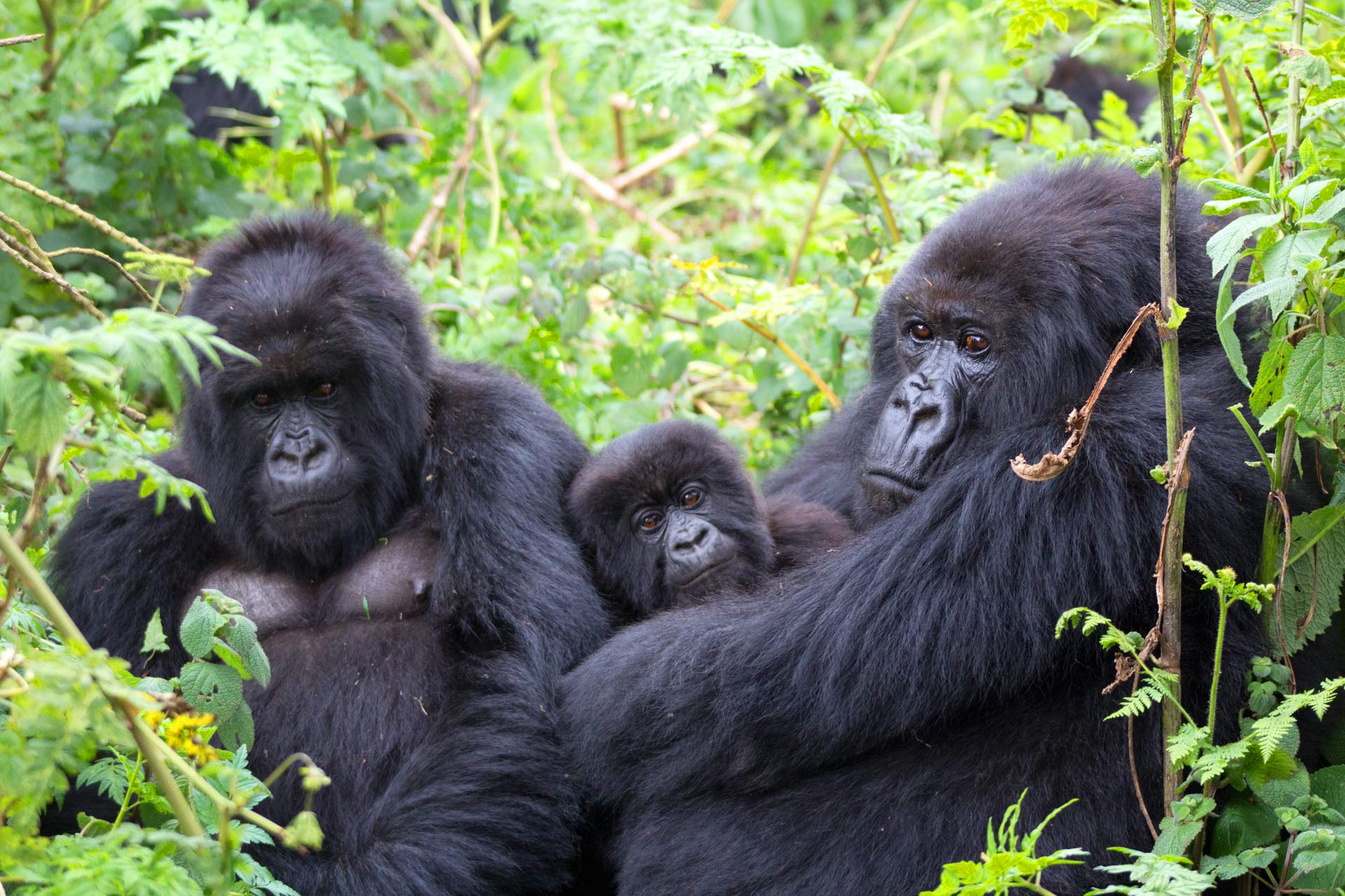 Bwindi Impenetrable National Park is the popular Uganda gorilla trekking safari park and where many would love to go for their gorilla trekking safari with the habituated gorilla families in Bwindi forest.