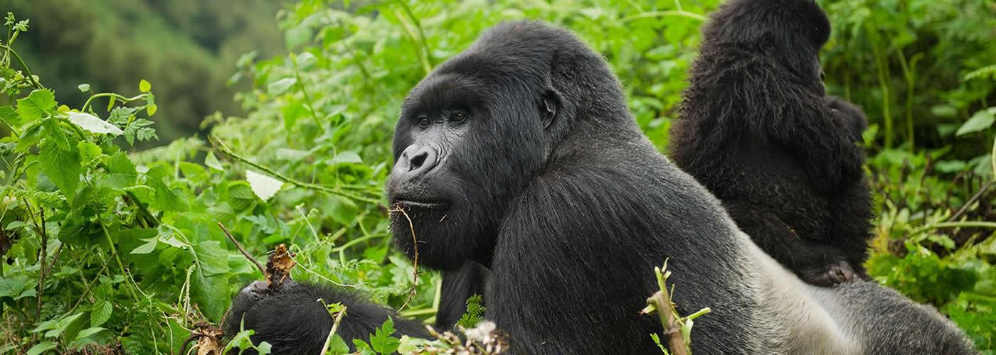 gorilla trekking to Uganda in 2020