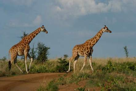 Giraffe at Murchison falls national park