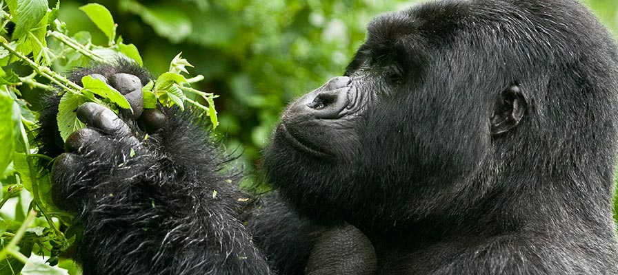 Bwindi Impenetrable Forest National Park Gorilla Trekking Safari