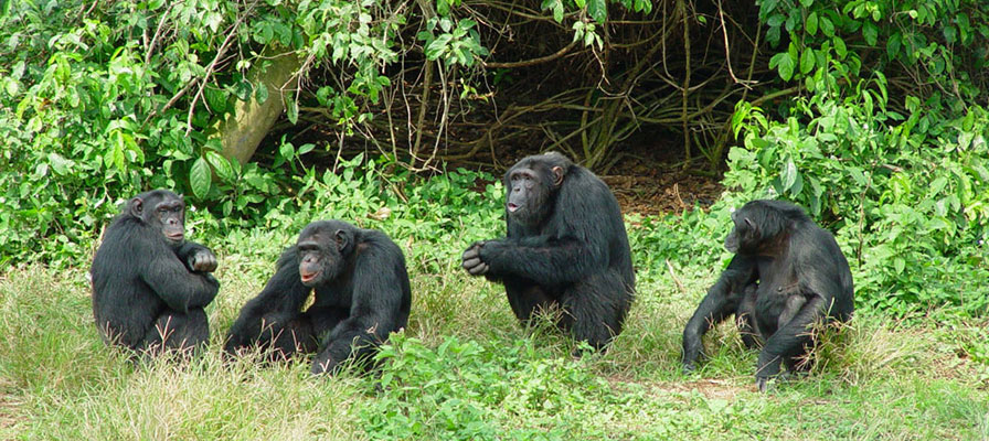 chimps and gorilla trekking - Ngamba Island Chimpanzee Sanctuary, 17 Days Uganda Safari