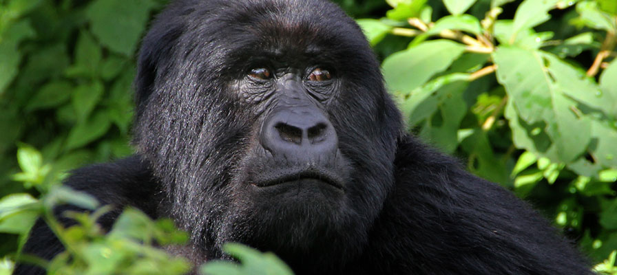 This 5 Days Gorilla Tracking Safari and Wildlife in Queen Elizabeth