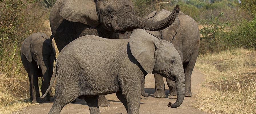 Queen Elizabeth Park - Queen Elizabeth National Park Elephants