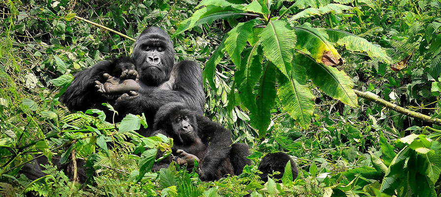 Chimps Trek, Gorilla Tracking in Bwindi tour
