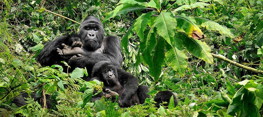 Uganda Chimpanzee and Gorilla Trekking Safari