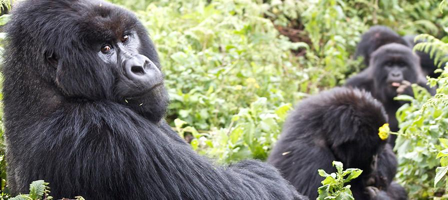 Experiential Gorilla Safari in Uganda