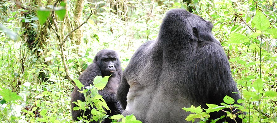 Chimps and Gorilla Trekking Tour