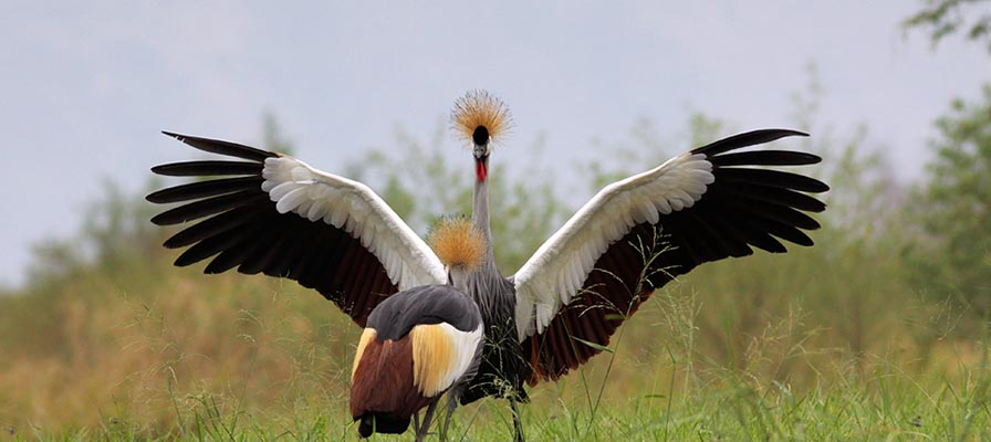 Great Uganda - The Crested Crane