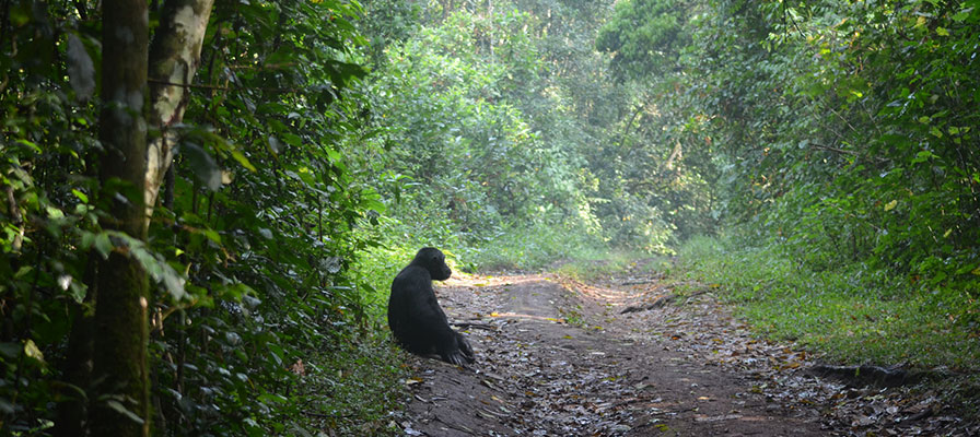Transfer to Kibale Forest National Park and Bigodi swamp walk