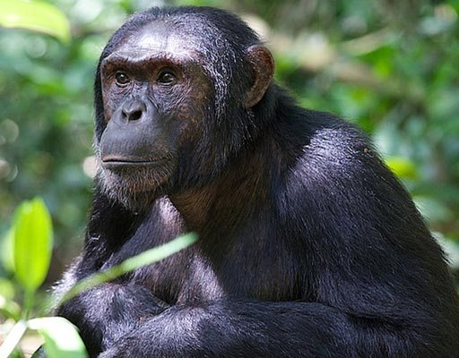 Primate Species, Kebale Forest National Park Chimp Trek