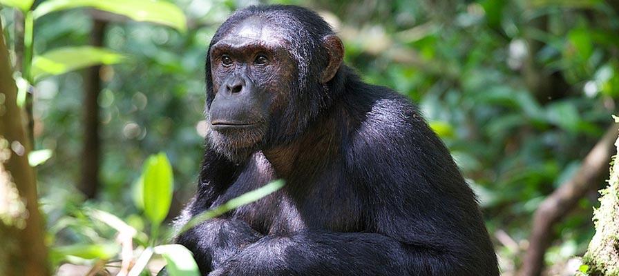 Gorillas and Chimpanzee Trekking Uganda Safari