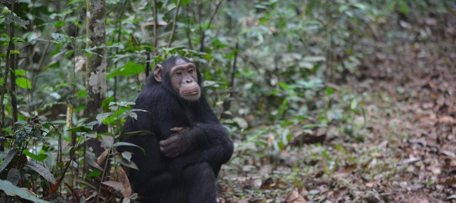 14 Day Uganda Rwanda Gorillas & Primates Safari