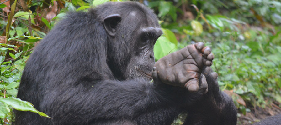 Murchison Falls, Kibale & Bwindi Gorilla Trekking Safari