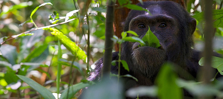 Kibale chimps, Chimpanzee tracking in Kibale Forest national Park