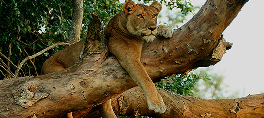Queen Elizabeth National Park Safari tree climbing lions