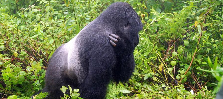 A Silverback Male Mountain Gorilla in Bwindi Impenetrable Forest
