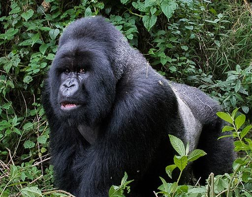 Gorilla trips - 10 Day Gorilla Trekking - Gorilla Trekking Tips - The Silverback Mountain Gorilla