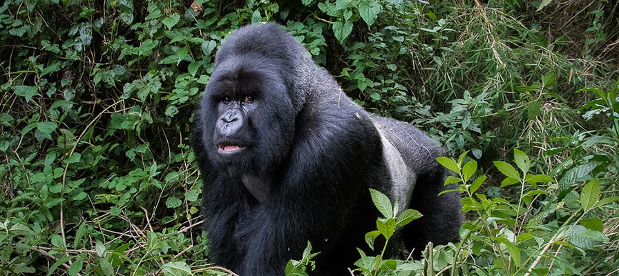 10 Day Gorilla Trekking - Gorilla Trekking Tips - The Silverback Mountain Gorilla