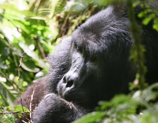 Makara Mountain Gorilla