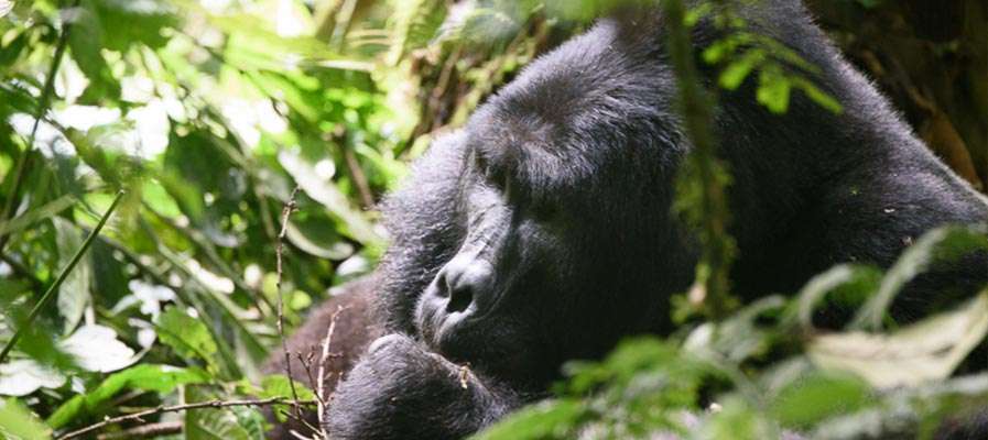 Makara Mountain Gorilla