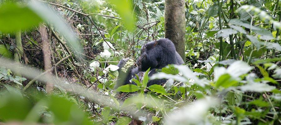 Silver Back Gorilla in Bwindi Jungle in Uganda