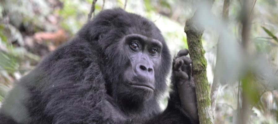 An adult female mountain Gorilla