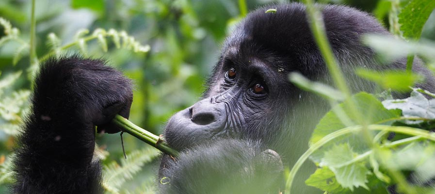 3 Days combined rwanda uganda gorilla tour