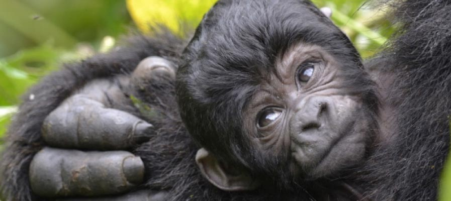 The mountain gorillas often live in an age-graded groups, on average, 9.2 individuals of multiple gorilla age groups. Usually, there is one adult male (though there may be more than one), multiple adult females - An infant in Bwindi Impenetrable National Park