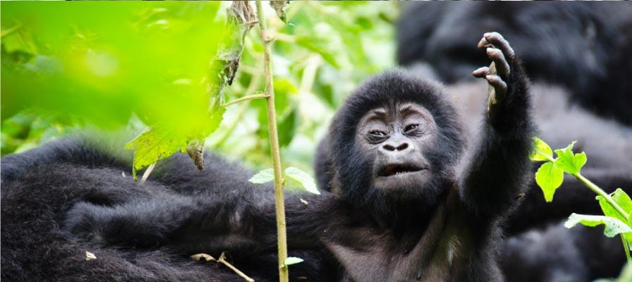 Uganda Gorilla Trekking chimps Safari