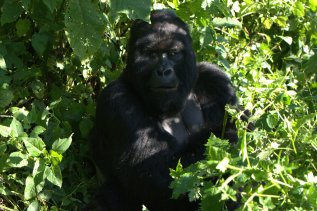 Gorilla Groups in Congo, Silverback Humba, the current leader of the group