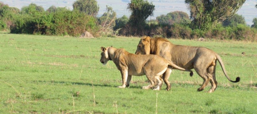 Uganda Wildlife & Chimpanzee Safari