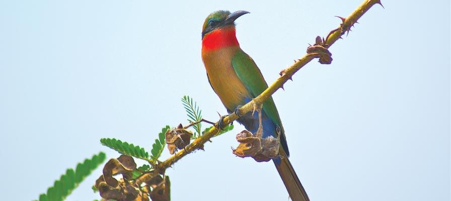 Murchison Falls Bird Watching Safari, Uganda Birding Safari, Red-throated Bee-eater