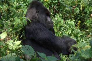 Silverback Nyakamwe, the current leader of Nyakamwe group