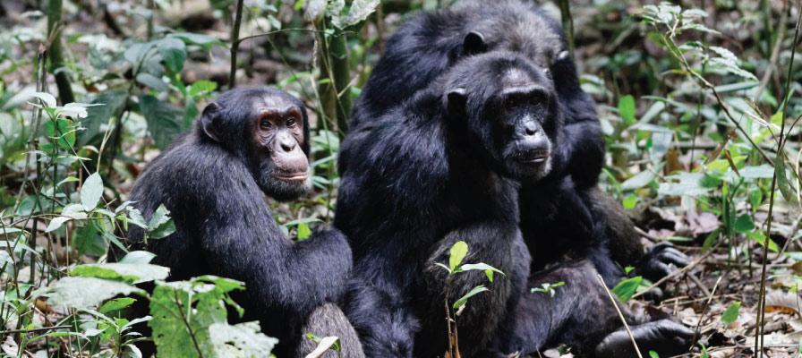 Chimpanzee Safari in Kyanbura gorge in queen elizabeth national park