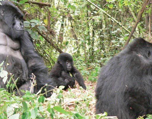 Uganda Gorilla Habituation - Bwindi Impenetrable Forest National Park
