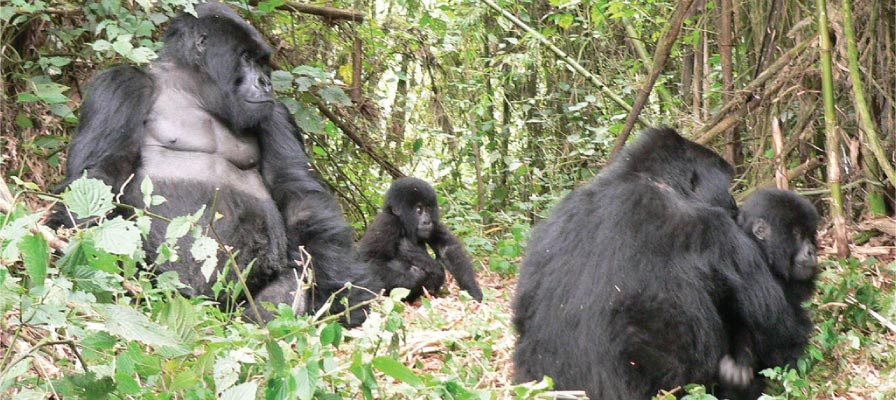 Uganda Gorilla Habituation - Bwindi Impenetrable Forest National Park
