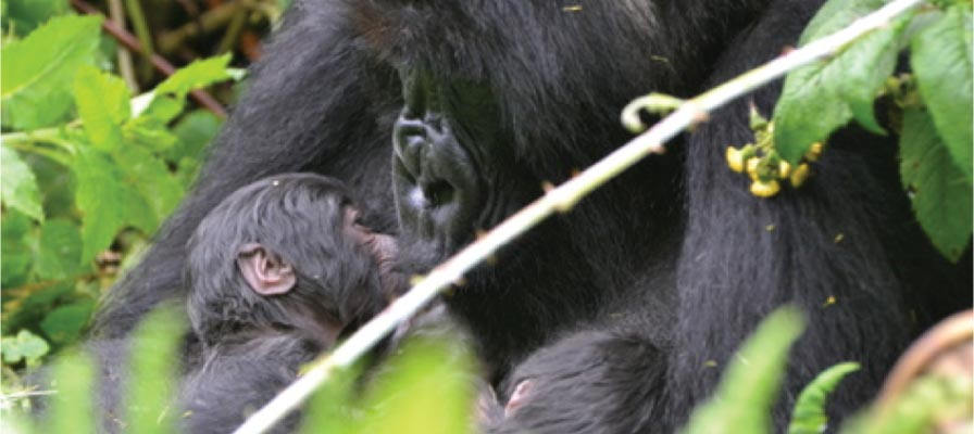gorilla twin births - Isaro, the mother and her 2 babies