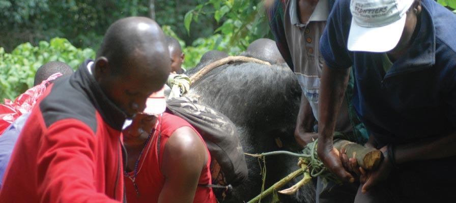 Ndahura Silverback Dead After a Treefall