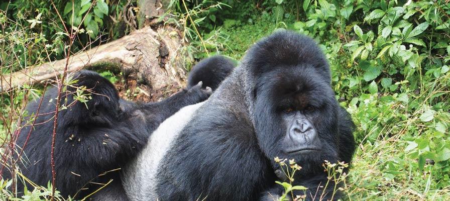 4 Days Gorilla Tracking in Bwindi & Chimps in Kibale