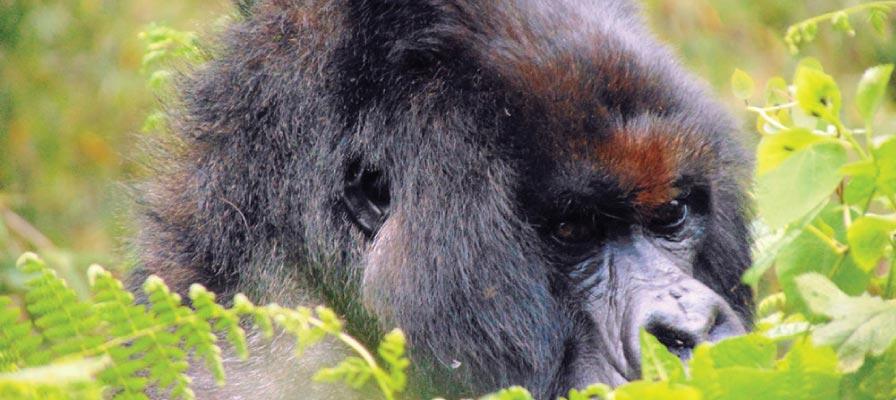 gorilla trekking in Bwindi Impenetrable Forest National park